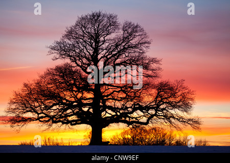 Oak tree and colorful skies at dusk in Råde kommune, Østfold fylke, Norway. - Stock Photo