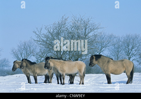 Konik horse (Equus przewalskii f. caballus), stallion, mares and foals standing in snow in winter, Germany, Schleswig - Stock Photo
