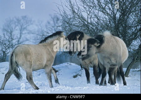 Konik horse (Equus przewalskii f. caballus), stallion, mares and foals in snow in winter, adults and foal sniffing - Stock Photo