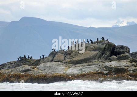 shag (Phalacrocorax aristotelis), group of birds sitting on a coast rock, Norway, Runde - Stock Photo