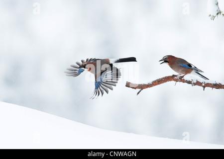 jay (Garrulus glandarius), two birds in winter, Norway, Namdal, Troendelag, Flatanger, Lauvsnes - Stock Photo