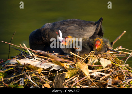 black coot (Fulica atra), adult sitting on the nest with chicks, Switzerland, Sankt Gallen - Stock Photo