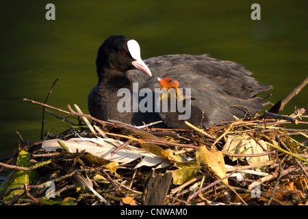 black coot (Fulica atra), adult sitting on the nest in a quiet water feeding a chick, Switzerland - Stock Photo
