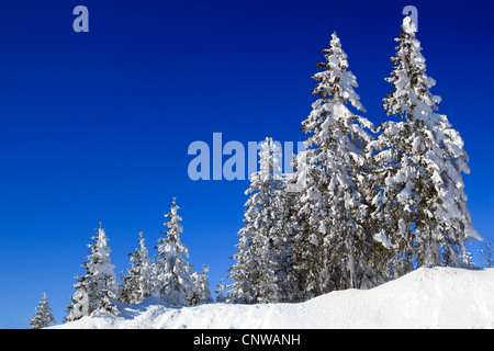 Norway spruce (Picea abies), snow-covered spruces in the foothills of the Alps, Switzerland, Gurnigel - Stock Photo
