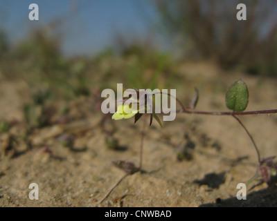 sharp-leaved fluellin, sharppoint fluvellin, sharp-point toadflax (Kickxia elatine), flower, Germany, North Rhine - Stock Photo