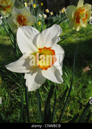 daffodil (Narcissus Flower Record, Narcissus 'Flower Record'), large-cupped daffodil, cultivar Flower Record - Stock Photo
