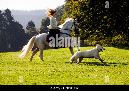 young woman on a white horse and her dog riding across a meadow, Germany, Baden-Wuerttemberg - Stock Photo