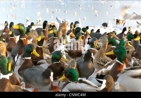 group von different water birds, Germany - Stock Photo