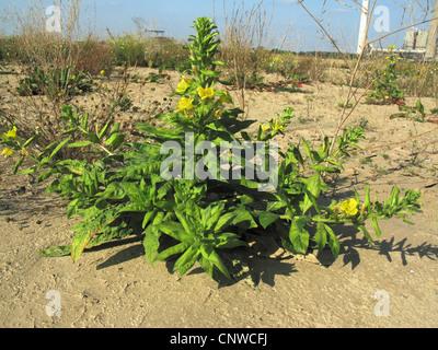 Large-Flowered Evening, Red-Sepaled Evening-Primrose, Large-Leaved Evening Primerose (Oenothera glazioviana, Oenothera - Stock Photo