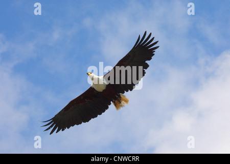 African fish eagle (Haliaeetus vocifer), flying - Stock Photo