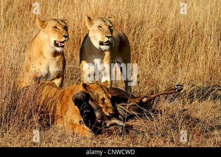 lion (Panthera leo), lioness feeding on gnu, Kenya, Masai Mara National Park - Stock Photo