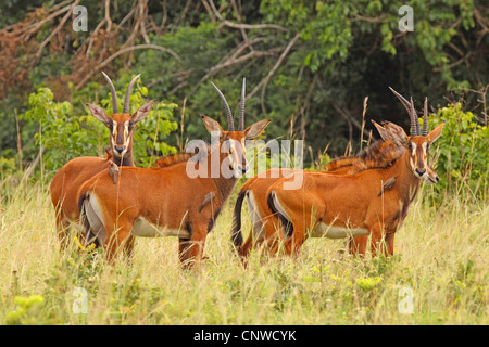 sable antelope (Hippotragus niger), female group, Kenya, Shimba Hills National Park - Stock Photo