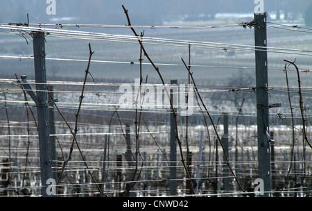 vineyard in winter, Germany, Rhineland-Palatinate, Siebeldingen - Stock Photo