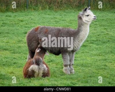 alpaca (Lama pacos), mare suckling a foal - Stock Photo