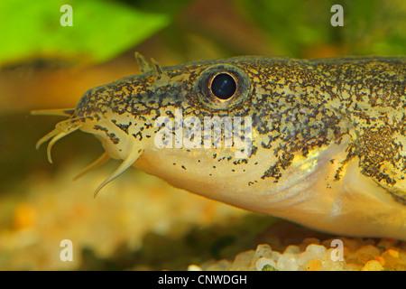 stone loach (Noemacheilus barbatulus, Barbatula barbatula, Nemacheilus barbatulus), portrait, Germany - Stock Photo