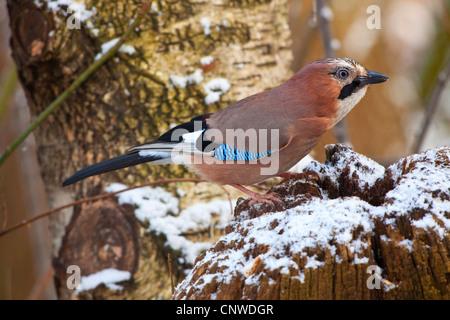 jay (Garrulus glandarius), sitting on a snow-covered tree snag, Germany, Bavaria - Stock Photo