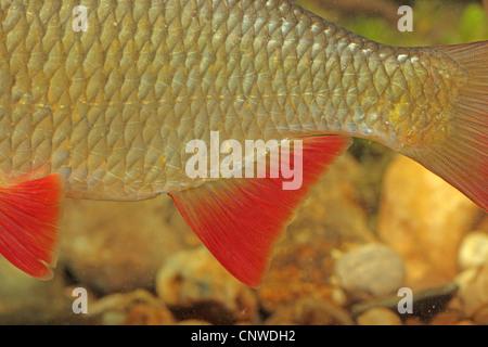 rudd (Scardinius erythrophthalmus), red tail fin, Germany - Stock Photo