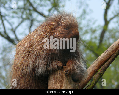 North American porcupine (Erethizon dorsatum), sitting in a tree - Stock Photo