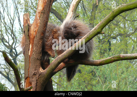 North American porcupine (Erethizon dorsatum), two animals sitting in a tree - Stock Photo