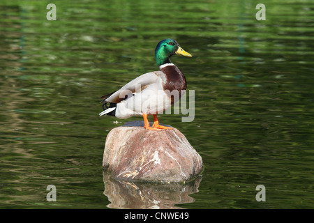 mallard (Anas platyrhynchos), male sitting on a rock in a pond, Germany - Stock Photo