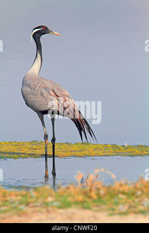 demoiselle crane (Anthropoides virgo), standing, Oman - Stock Photo