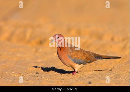 laughing dove (Streptopelia senegalensis), sitting on the ground, Oman - Stock Photo