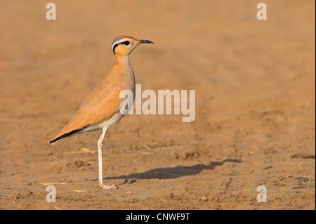 cream-coloured courser (Cursorius cursor), standing on soil ground, Oman - Stock Photo