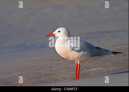 slender-billed gull (Larus genei), standing on the beach, Oman - Stock Photo