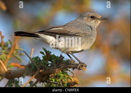 blackstart (Cercomela melanura), sitting on a branch, Oman - Stock Photo