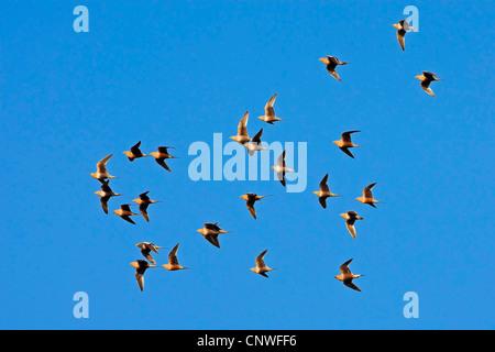 chestnut-bellied sandgrouse (Pterocles exustus), flying flock, Oman - Stock Photo