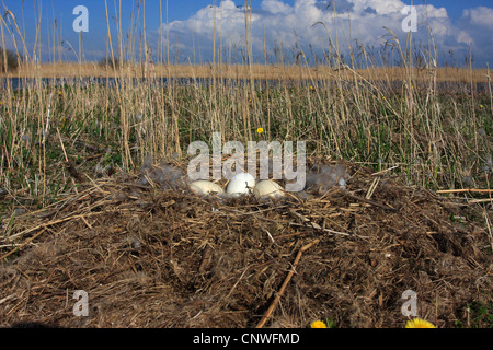 Canada goose (Branta canadensis), eggs, Netherlands, Makkum - Stock Photo