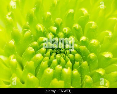 Green Chrysanthemum flower macro abstract - Stock Photo