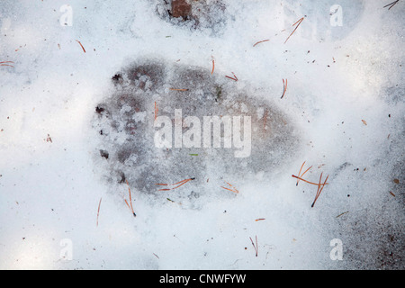 brown bear, grizzly bear (Ursus arctos horribilis), paw print in snow, Canada, Alberta, Waterton Lakes National - Stock Photo