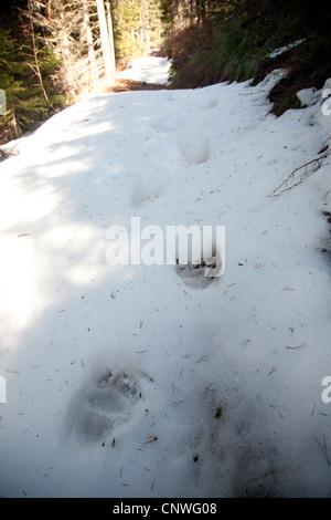 brown bear, grizzly bear (Ursus arctos horribilis), pawn prints in snow, Canada, Alberta, Waterton Lakes National - Stock Photo