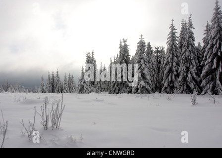 winter landscape with spruces in the Black Forest, Germany, Baden-Wuerttemberg, Black Forest - Stock Photo