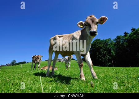 domestic cattle (Bos primigenius f. taurus), calves in an alpine pasture, Switzerland, Kanton Appenzell - Stock Photo