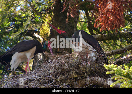 black stork (Ciconia nigra), couple at the aerie in an old fir, Germany, Bavaria, Oberbayern, Upper Bavaria - Stock Photo