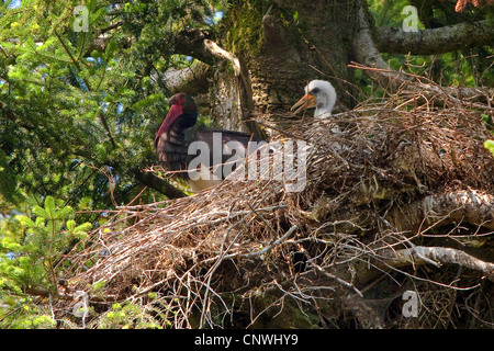 black stork (Ciconia nigra), female with four weeks old juvenile at the aerie in an old fir, Germany, Bavaria, Oberbayern, - Stock Photo