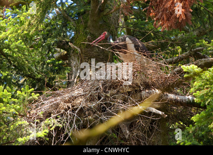 black stork (Ciconia nigra), building an aerie in an old fir, Germany, Bavaria, Oberbayern, Upper Bavaria - Stock Photo