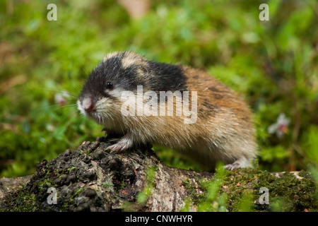 Norway lemming (Lemmus lemmus), standing on rotting birch trunk, Norway - Stock Photo