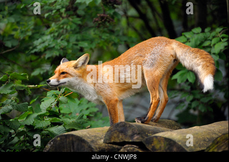 red fox (Vulpes vulpes), standing in forest on pile of logs - Stock Photo