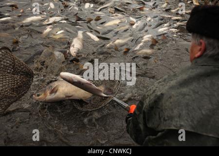 Traditional mass carp fishing at the Zehunsky Pond in Eastern Bohemia, Czech Republic. - Stock Photo