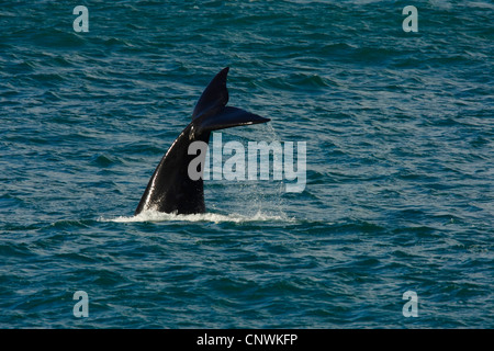 southern right whale (Eubalaena australis, Balaena glacialis australis), fluke of a diving whale sticking out of - Stock Photo