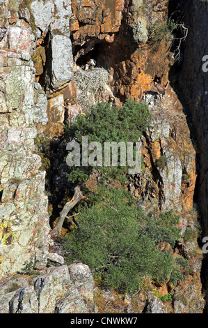 black stork (Ciconia nigra), nest in a steep rock wall with adult and juvenile, Spain, Extremadura - Stock Photo