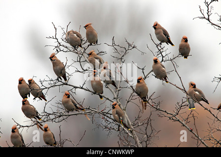 Bohemian waxwing (Bombycilla garrulus), flock in a bush, Germany, Rhineland-Palatinate - Stock Photo