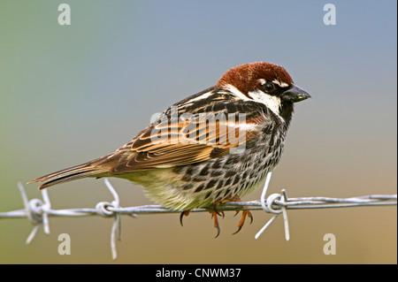 Spanish sparrow (Passer hispaniolensis), sitting on barbwire, Greece, Lesbos - Stock Photo