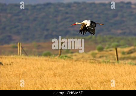 white stork (Ciconia ciconia), flying over a field, Spain, Extremadura - Stock Photo