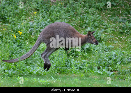 red-necked wallaby, Bennett's Wallaby (Macropus rufogriseus, Wallabia rufogrisea), jumping, Australia - Stock Photo