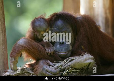 Sumatran orangutan (Pongo pygmaeus abelii, Pongo abelii), mother with juvenile - Stock Photo