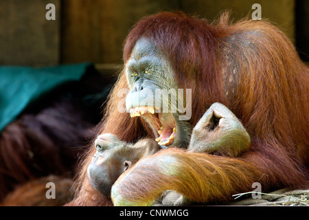 Sumatran orangutan (Pongo pygmaeus abelii, Pongo abelii), juvenile in the arms of a yawning mother - Stock Photo